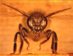 Thomas Seeley: Honeybee Democracy TRT  1:12 recorded 10/24/12